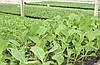 1.Выращивание капустной рассады.  (Читать далее.  4.Савойская капуста.