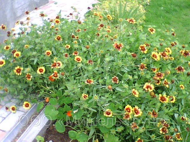 Садовые многолетние цветы цветущие